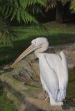Pelikan stockfoto