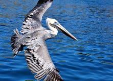 Pelikan lizenzfreies stockbild