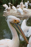 Pelikan Lizenzfreie Stockbilder
