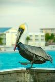 Pelikan Lizenzfreie Stockfotografie
