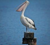 Pelikan imagenes de archivo