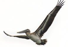 pelikan Arkivbild