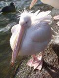 Pelikan Royaltyfri Fotografi