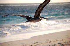 Pelikan Zdjęcie Royalty Free