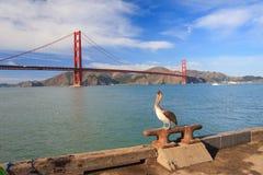 Pelikan Arkivfoto