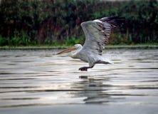 Pelikan stockfotografie