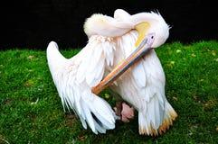 Pelikan Arkivfoton