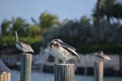 Pelikan] Royaltyfria Foton