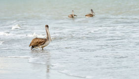 Pelikan Fotografia Royalty Free