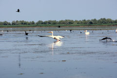 Pelikan Royaltyfri Bild