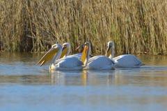 Pelikan Royaltyfri Foto