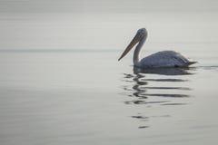 Pelikan obraz royalty free