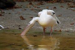 Pelikan Zdjęcia Royalty Free