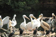Pelikan. Royaltyfri Foto