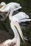 Pelikan. Lizenzfreie Stockbilder