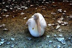 Pelikan images stock