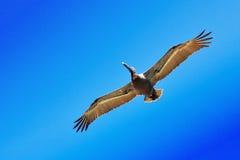 Pelikan Stockbild