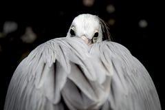 Pelikan Images libres de droits