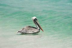 pelikan arkivbilder