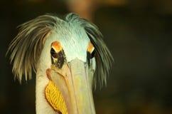 Pelikan Stockbilder