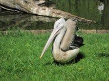 pelikan anhydrous Kunskap av naturen Till och med ögonen av naturen royaltyfri fotografi
