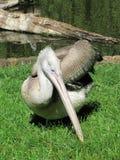 pelikan anhydrous Kunskap av naturen Till och med ögonen av naturen royaltyfria foton