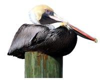 Pelikan auf Anhäufung stockfotos