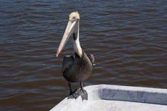 Pelikan auf Boot Stockfoto