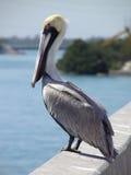 Pelikan auf Brücke Stockbilder