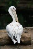 Pelikan auf dem Baum Lizenzfreie Stockfotos