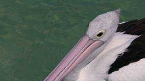 Pelikan auf dem Ozean stock video