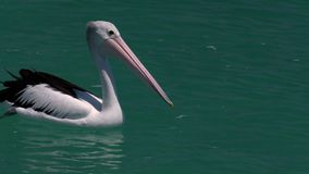 Pelikan auf dem Ozean stock video footage