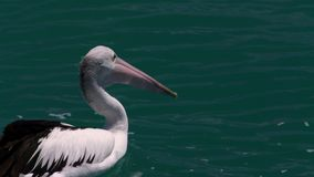 Pelikan auf dem Ozean stock footage