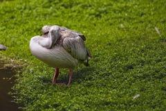 Pelikan auf dem See Stockfotografie