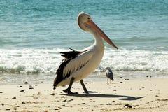 Pelikan auf dem Strand Stockfotos