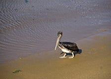 Pelikan auf dem Strand lizenzfreies stockbild