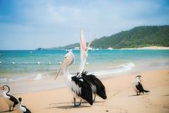 Pelikan auf dem Strand, Australien Stockfotografie