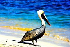 Pelikan auf dem Strand mit Meerblick stockfotos