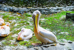 Pelikan auf dem Teichrand Stockfotografie