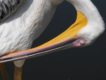 Pelikan auf dem Ufer Lizenzfreie Stockfotos