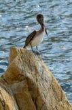Pelikan auf den Felsen Stockbild