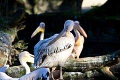 Pelikan auf der Küste Lizenzfreie Stockfotos