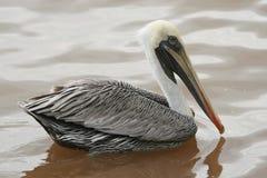 Pelikan auf dunklem Wasser Stockbild