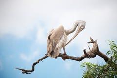 Pelikan auf einem Baum Stockbild