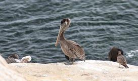 Pelikan auf einem Felsen Stockfoto