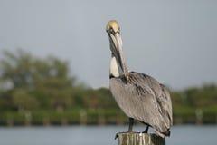 Pelikan auf einem Pfosten 6192 Lizenzfreie Stockbilder