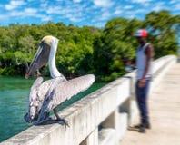 Pelikan auf einer Holzbrücke Stockbild