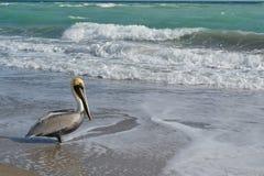 Pelikan auf Florida-Strand lizenzfreie stockfotografie