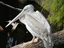Pelikan auf Klotz stockfoto
