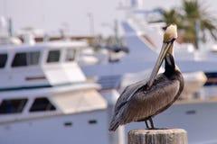 Pelikan auf Mast Lizenzfreie Stockfotografie